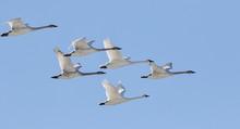 Trumpeter Swans Winter Migration