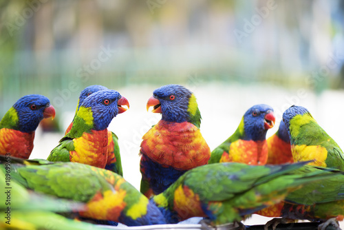 Fotografía  Group of lorikeets chatting together