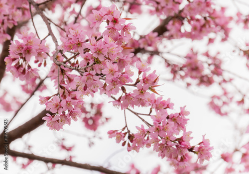 Foto op Plexiglas Magnolia Sakura flowers blossom