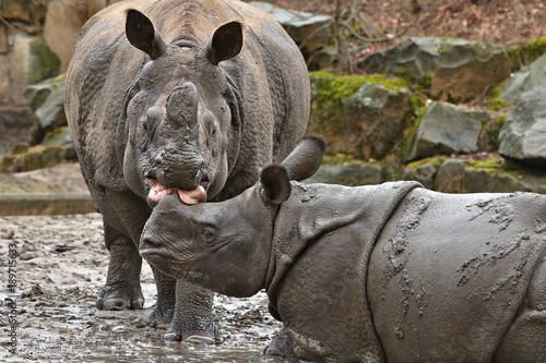 Indian rhinoceros mother with a baby in the beautiful nature looking habitat. One horned rhino. Endangered species. The biggest kind of rhinoceros on the earth.