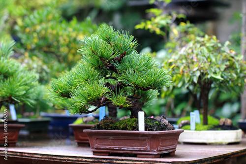 Spoed Fotobehang Bonsai Beautiful bonsai tree in Japanese garden