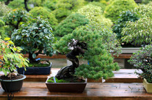 Beautiful Bonsai Tree In Japan...