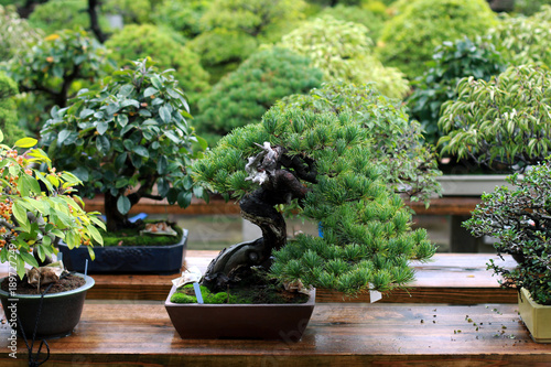 Montage in der Fensternische Bonsai Beautiful bonsai tree in Japanese garden