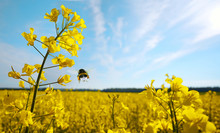 Rape Flowers  And A Flying Bumblebee Macro Against A Blue Sky With Clouds In The Rays Of Sunlight With Copy Space. A Beautiful Artistic Perspective View.