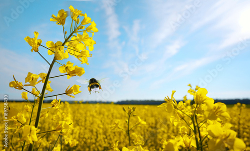 Foto Rape flowers  and a flying bumblebee macro against a blue sky with clouds in the rays of sunlight with copy space