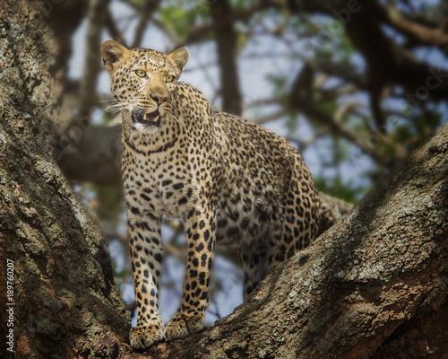 Deurstickers Luipaard Closeup Leopard in tree serengeti national park