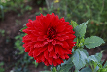Bright Red Dahlia Flower In Th...