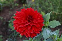 Bright Red Dahlia Flower In The Garden