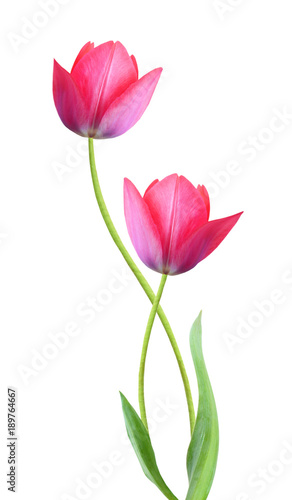 Two tulip flowers isolated on white background Canvas Print