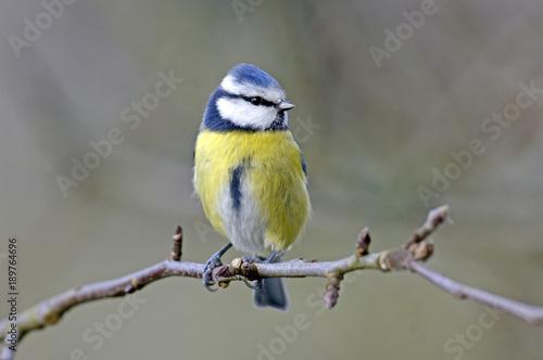 Fototapeta premium Blaumeise (Cyanistes caeruleus) - modraszka zwyczajna
