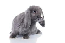 Mini Lop Eared Rabbit Isolated...