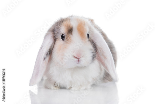 Mini lop eared satin rabbit isolated on white