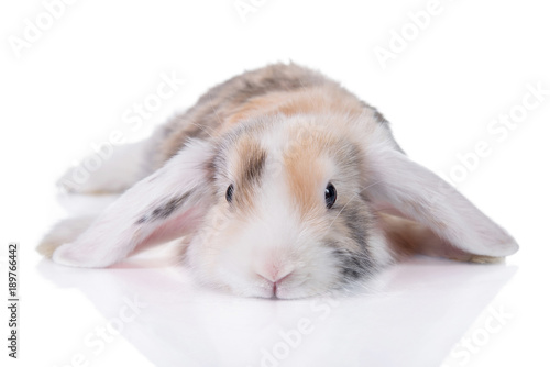 Funny lop eared satin rabbit lying isolated on white
