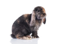 Little Funny Lop Eared Rabbit Isolated On White