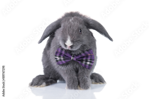Funny lop eared rabbit dressed in a bow tie isolated on white