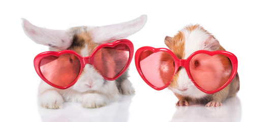 Funny lop eared rabbit with guinea pig wearing heart shaped glasses, isolated on white