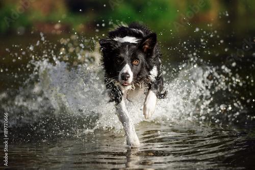 Fotografie, Obraz Border collie running in the water