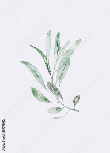 Акварельная ветвь оливы Obraz na płótnie