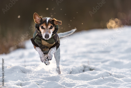 Fotografie, Obraz  small dog runs over a meadow in the snow in winter and wears a warm coat - Cute
