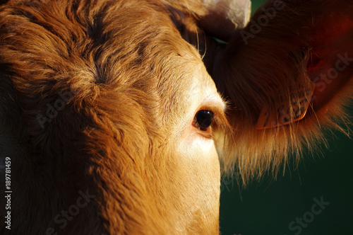 La pose en embrasure Vache le regard d'une vache limousine,