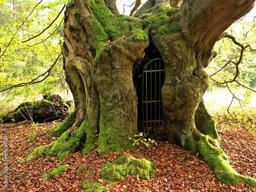 Das Tor zur Unterwelt... die uralte Schäferbuche am Bärenberg im Frühling