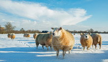 Herd Of Sheep In Dutch Winter ...