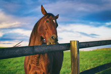 Horse Chews The Wooden Fence. ...