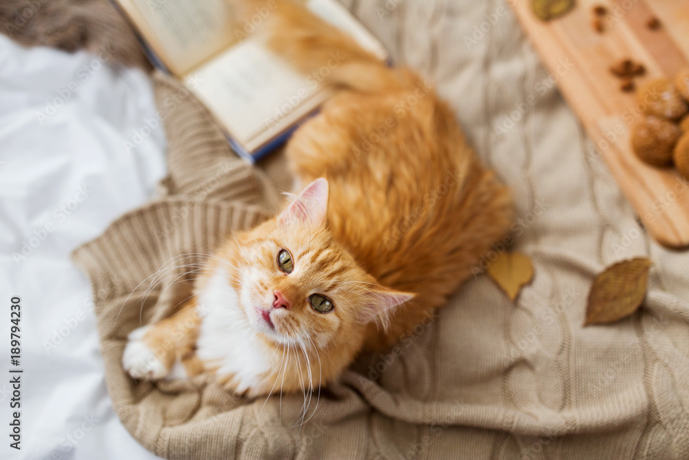 red tabby cat lying on blanket at home in autumn