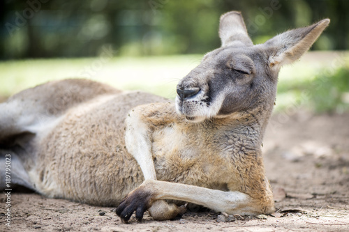 Foto op Aluminium Kangoeroe Red kangaroo sitting in the sun.