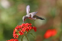 Annas Hummingbird In Flight, F...