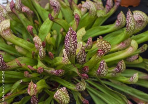 Fotografía  Sarracenia, carnivorous plant