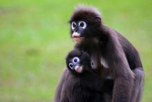 Dusky Langur Is Breastfeeding Baby Selective Focus