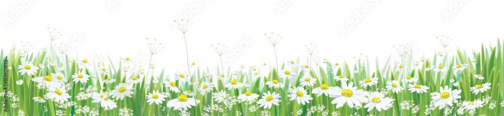Fototapeta Vector  blossoming daisy  flowers  field, nature border isolated.
