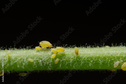 Canvastavla Macro Pea aphids (Scientific name: Aphis craccivora Koch.)