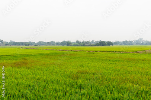Poster Lime groen Landscape of growing green rice field