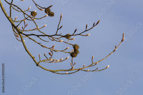 Beech branches with beechnuts shells and fresh buds Wallpaper Mural