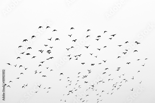 Photo  Birds in flight, freedom. Silhouette. Flock of birds.