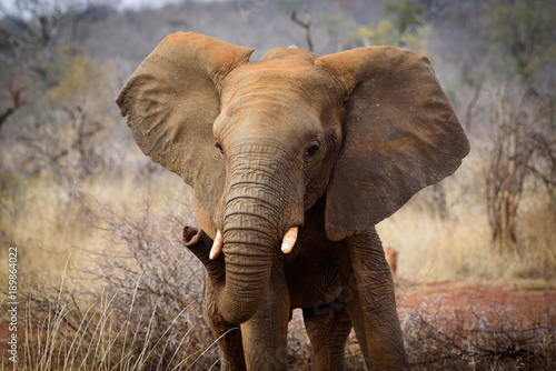 Photo  Baby Elephant of Madikwe
