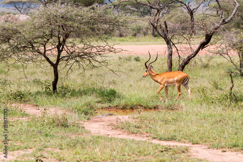 Foto auf Gartenposter Bestsellers Thomson's gazelle (Eudorcas thomsonii), known as tommie, the most common type of gazelle in East Africa in Serengeti ecosystem, Tanzania, Africa