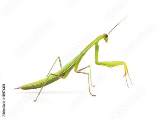 Large green mantis. Wallpaper Mural