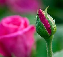 Jadis Hybrid Tea Rose