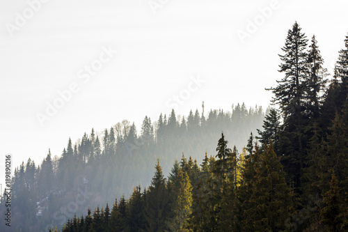 Poster Morning with fog Pine trees in mountain forest