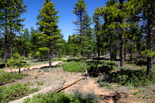 Ponderosa Pine Forest In Bryce Canyon National Park