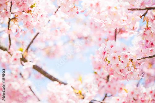 La pose en embrasure Fleur de cerisier サクラ