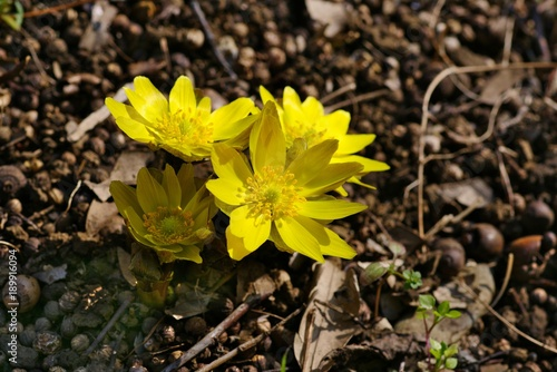 Photo Amur adonis (Pheasant's eye)
