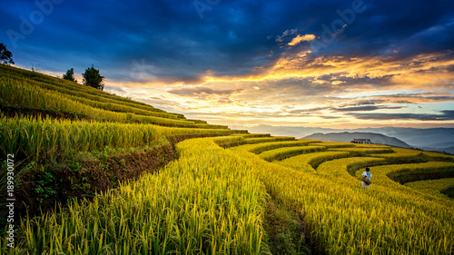 In de dag Rijstvelden Rice fields on terraced of Chiangmai, Thailand. Rice fields prepare the harvest at North Thailand. Thailand landscapes