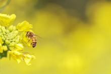 菜の花と蜜蜂
