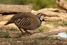Red Legged Partridge