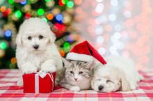 Group Of A Bichon Frise Pupies And Kitten In Red Santa Hat On A Background Of The Christmas Tree