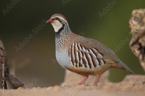 Obraz na płótnie Red legged partridge